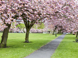 Cherry Blossom on the Stray in Spring  Harrogate  North Yorkshire  Yorkshire  England  UK  Europe