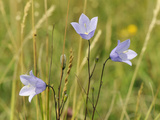 Harebell (Campanula Rotundifolia) Flowering in Chalk Grassland Meadow  Wiltshire  England  UK