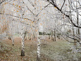 Frost-Covered Birch Trees  Town of Cakovice  Prague  Czech Republic  Europe