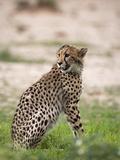 Cheetah (Acinonyx Jubatus) Cub  Kgalagadi Transfrontier Park  South Africa  Africa