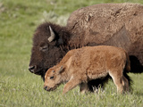 Bison (Bison Bison) Cow and Calf  Yellowstone National Park  Wyoming  USA  North America