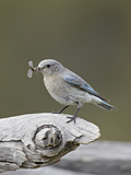 Female Mountain Bluebird (Sialia Currucoides) with an Insect  Yellowstone Nat'l Park  Wyoming  USA