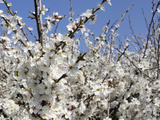 Blackthorn (Prunus Spinosa) in Full Flower  Cornwall  England  United Kingdom  Europe