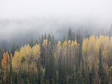 Yellow Aspens and Evergreens with Low Clouds  Wasatch-Cache National Forest  Utah  USA