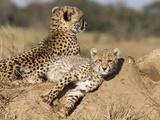 Cheetah (Acinonyx Jubatus) Cub  Phinda Private Game Reserve  Kwazulu Natal  South Africa  Africa