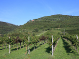 Vineyard  Vincenza  Veneto  Italy  Europe