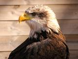 African Fish Eagle (Haliaeetus Vocifer) or to Distinguish it from True Fish Eagles (Ichthyophaga)