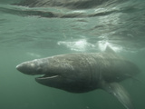 Basking Shark (Cetorhinus Maximus) Feeding on Plankton  Hebrides  Scotland  United Kingdom  Europe