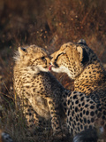 Cheetah (Acinonyx Jubatus) with Cub  Phinda Private Game Reserve  Kwazulu Natal  South Africa
