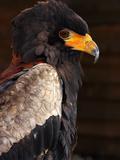 Bateleur (Terathopius Ecaudatus)  Resident in Sub-Saharan Africa  in Captivity in UK