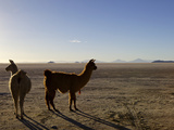 Llama and Alpaca on Salt Flats  Salar de Uyuni  Southwest Highlands  Bolivia  South America