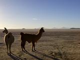 Llama and Alpaca on Salt Flats  Salar de Uyuni  Southwest Highlands  Bolivia  South America