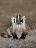 Badger (Taxidea Taxus)  Buffalo Gap National Grassland  Conata Basin  South Dakota  USA