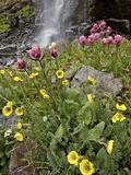 Alpine Avens (Acomastylis Rossii Turbinata)/Rosy Paintbrush (Castilleja Rhexifolia)  Colorado  USA