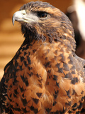 Harris Hawk (Parabuteo Unicinctus)  Breeds in Southern USA  Chile and Argentina  Captivity in UK