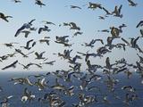 Herring Gulls  England  United Kingdom  Europe