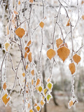 Frost-Covered Birch Branches and Leaves  Town of Cakovice  Prague  Czech Republic  Europe