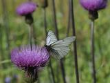 Black Veined White Butterfly (Aporia Crataegi)  Pannonic Thistle (Cirsium Pannonicum)  Slovenia
