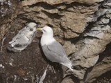 Black-Legged Kittiwake (Rissa Tridactyla)  Isle of Lunga  Inner Hebrides  Scotland  UK  Europe