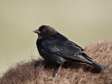Brown-Headed Cowbird (Molothrus Ater)  Yellowstone National Park  Wyoming  USA  North America