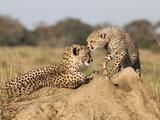 Cheetah (Acinonyx Jubatus) with Cub  Phinda Private Game Reserve  Kwazulu Natal  South Africa
