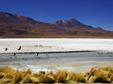 Flamingos on Laguna Canapa  Southwest Highlands  Bolivia  South America