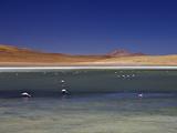 Flamingos on Laguna Canapa  South Lipez  Southwest Highlands  Bolivia  South America