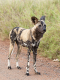 African Wild Dog (Lycaon Pictus)  Kruger National Park  South Africa  Africa