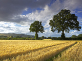 Cornfields  Exe Valley  Devon  England  United Kingdom  Europe