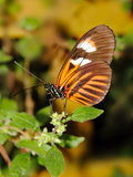 Hecales Longwing Butterfly (Heliconius Hecale)  Widespread across South America
