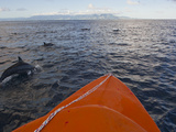 Dolphins Swimming with a Boat  Savo Island  Solomon Islands  Pacific
