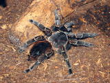Brazilian Salmon Pink Bird-Eating Tarantula (Lasiodora Parahybana) from Northeastern Brazil