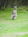 Eastern Grey Kangaroo (Macropus Giganteus) Mother with Baby Joey in Blue Mountains Area  Australia