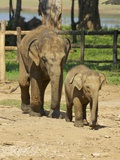 Baby Asian Elephants  Uda Walawe Elephant Transit Home  Sri Lanka  Asia