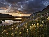 Sulphur Paintbrush (Castilleja Sulphurea) at First Light  San Juan Nat'l Forest  Colorado  USA