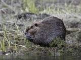 Beaver (Castor Canadensis) Eating an Evergreen Branch  Yellowstone National Park  Wyoming  USA