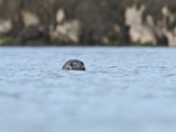 Grey Seal (Halichoerus Grypus) on the Cairns of Coll  Hebrides  Scotland  United Kingdom  Europe