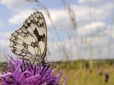 Marbled White Butterfly (Melanargia Galathea)/Greater Knapweed Flower (Centaurea Scabiosa)  England