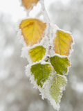 Frost-Covered Birch Leaves  Town of Cakovice  Prague  Czech Republic  Europe