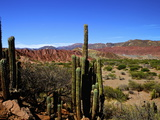 Cacti in Canon del Inca  Tupiza Chichas Range  Andes  Southwestern Bolivia  South America
