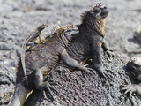 Galapagos Marine Iguana (Amblyrhynchus Cristatus)  Galapagos  UNESCO World Heritage Site  Ecuador