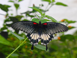 Great Mormon (Papilio Memnon)  Butterfly Belonging to Swallowtail Family  Found in Southern Asia