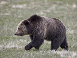 Grizzly Bear (Ursus Arctos Horribilis) Walking  Yellowstone National Park  Wyoming  USA