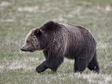 Grizzly Bear (Ursus Arctos Horribilis) Walking  Yellowstone National Park  Wyoming  USA