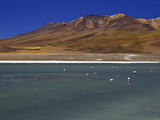 Flamingos on Laguna Canapa  South Lipez  Southwest Highlands  Bolivia  South America