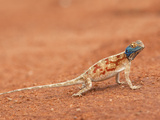 Ground Agama (Agama Aculeata)  Kgalagadi Transfrontier Park  Northern Cape  South Africa  Africa