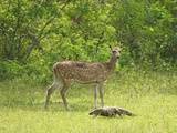 Ceylon Spotted Deer Hind and Land Monitor Lizard  Yala National Park  Sri Lanka  Asia