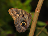 Butterflies in Genus Caligo  Commonly Called Owl Butterflies  with Huge Eyespots Resemble Owls Eyes