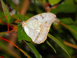 White Morpho (Morpho Polyphemus) of Mexico and Central America