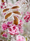 Frost-Covered Flowers and Leaves  Town of Cakovice  Prague  Czech Republic  Europe